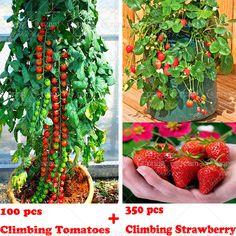 100 climbing tomato tree Seeds and  300 quality climbing strawberry seeds, fruit and vegetable seeds for home garden plantiing -- Haga clic en la VISITA botón para una descripción detallada