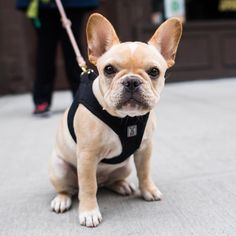 """Gigi, French Bulldog (3 m/o), Charles & Greenwich Ave., New York, NY • """"She tries to eat everything on the street."""""""