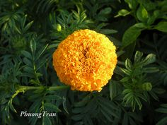 Vietnamese named : Cúc Vạn Thọ, Vạn Thọ  English names : Marigold, Mexican marigold, African marigold, Aztec marigold  Scientist name : Tagetes erecta L.  Synonyms :  Family : Asteraceae ( Compositae ). Họ Cúc ( Hướng Dương )    Searched from :    **** TVVN. http://maylocnuoc.biz.vn/may-loc-nuoc-ro-naruto-nt-013.html  http://maylocnuoc.biz.vn/thiet-bi-loc-nuoc-gia-dinh-tinh-khiet.html