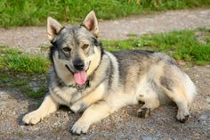 White Wolf : Meet the Swedish Vallhund, an amazing looking dog with a 1000 years of history.
