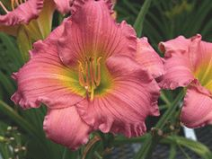 "DAYLILY Dynamite Returns Hemerocallis x 'Dynamite Returns' PPAF Height:	16-20"" Spread:	18-24"" Flowers:	Warm pink with green to chartreuse throat Blooms:	4-6 weeks, starting July, reblooms Zone:	3-9 Soil:	Does well in most conditions Additional Information: Deadhead to produce more blooms. Try planting with Perennial Geranium, Sunflower and Peony."