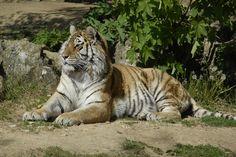 Tigre de Siberie by GIPE25