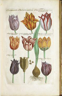Sweerts, E.: Florilegium amplissimum et selectissimum. Amstelodami: J. Janssonium, 1647-54.