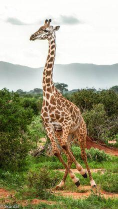 Giraffe in East Savo, Kenya