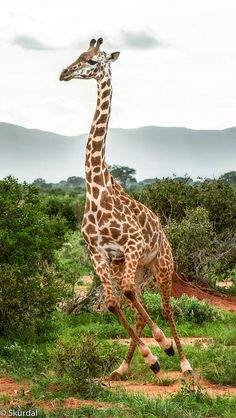 Giraffe in East Savo, Kenya