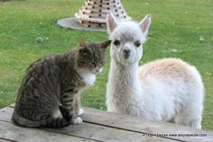 My bottle fed alpaca named Lacey with her kitty friend :)