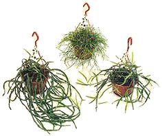 Floricultura Multiflora Fernandopolis: Ripsális Você Conhece? Rhipsalis baccifera