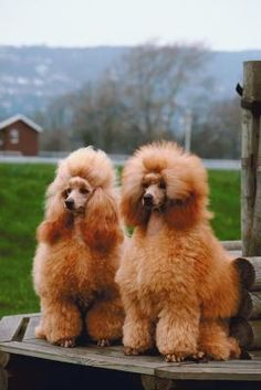 """Acquire fantastic tips on """"poodle puppies"""". They are actually readily available for you on our web site. Red Poodles, French Poodles, Standard Poodles, Poodle Puppies For Sale, Dogs And Puppies, Doggies, Toy Dogs, Purebred Dogs, Best Dogs"""