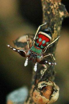 Jumping Spider (Siler semiglaucus)  Pu'er, Yunnan, China