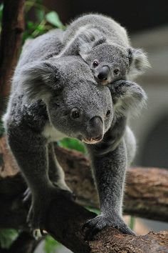 7e0775a414aa 275 Best I LOVE KOALA BEARS!!! images