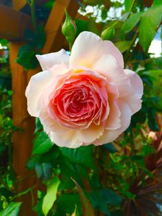 Why I like Roses  #gardening #garden #DIY #home #flowers #roses #nature #landscaping #horticulture