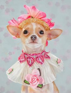 Supermodel CHIHUAHUAS Strike a Pose in High Fashion Couture! - Haus Of Paws Blog