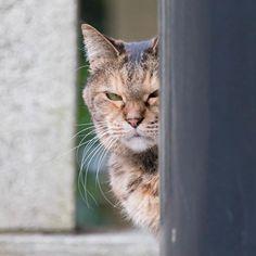 その視線怖いんですけど  ヒットマン ヒットにゃん  ねらいうち 猫をかわいく撮れる才能が欲しい  #222#猫の日 #猫#ネコ#cat#地域猫## #動物#animal #かわいい#kawaii#cute #神社仏閣#神社#shrine#寺#temple #風景#景色#picture#landscape #東京#tokyo#日本#japan#love#loves_nippon #写真好きな人と繋がりたい #一眼レフ