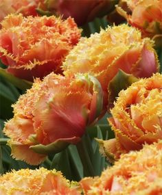 Tulip Sensual Touch - Fringed Tulips - Tulips - Fall 2014 Flower Bulbs