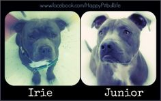 Do you think Irie here looks very much like #CesarMillan's #Junior? LIKE if you do agree;)   https://www.facebook.com/HappyPitbullLife  #pitbull #faceoff #twins #dogs #bestfriend #bestbuddy #resemblance