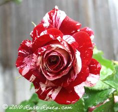Famous for SCENTIMENTAL and FOURTH OF JULY, he has created another beauty in the red and white striped rose ROCK & ROLL. Description from rareroses.com. I searched for this on bing.com/images