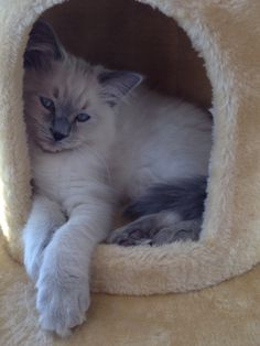 Grayson, Blue Point Ragdoll kitten