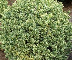 Pittosporum tobira 39 turner 39 s dwarf 39 slow growing for Slow growing trees for front yard