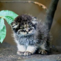 What an awesome wild cat – a baby Pallas's cat. Such a beauty. Not much bigger than our domestic cats – and is now endangered and super rare.