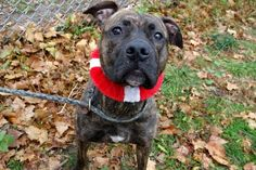 MINDY - A1098666 - - Manhattan  Please Share:TO BE DESTROYED 01/04/17 A volunteer writes: Sleek, elegant and breathtaking in her gleaming brindle coat, Miss Mindy is shy but friendly, happy to make new friends in her quiet and unassuming way. Out for a walk she pulls a bit on leash, quickly takes care of her business and wags her tail gently as we walk. Posing like a pro for some quick photos in the park, we're then off leash in a pen, where Mindy puts her paws in my