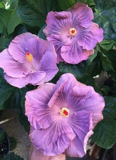 Hibiscus...name unknown..
