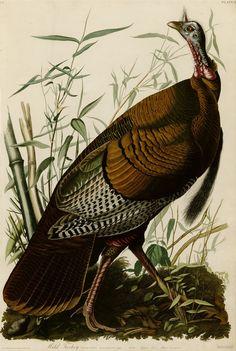 "Wild Turkey from ""The Birds of America"" by John James Audubon"
