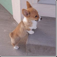 Can this puppy get any cuter? Didn't think so.... I love Pembroke Welsh Corgis.