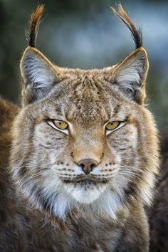 Eurasian Lynx Kitten | Eurasian Lynx, Cabarceno Nature Park, ... | Fierce Felines/Love Big C ...