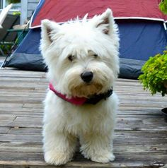 Dogs in the snow West Highland Terrier, Yorkies, Cute Puppies, Dogs And Puppies, Westie Puppies, Cutest Dog Ever, White Dogs, Puppy Pictures, Westies