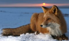 Fox in the sunset
