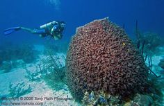 massive barrel sponges - we saw a lot this size at Cayman Brac