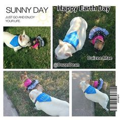 Happy Earth Day.  #Dozerdean #Daizeemae #earthday #celebipaws #frenchbulldog #frenchies #frenchpuppy #puppy #cutepuppy #texasfrenchies #love #frenchiegram #frenchbull #photooftheday #frenchieoftheday #frenchiesofinstagram