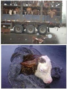 This calf was born on a truck transporting cows to the slaughterhouse.He fell off the truck and was rescued by the traffic police.Meanwhile,his mother was killed.Hundreds of thousands of pregnant cows are sent to slaughter each year.At the slaughterhouse the calves experience their mother's death from inside her.They can be seen kicking  fighting inside the womb as the mother has her throat slit,her legs cut off  her skin pulled off.Some calves are cut out from their dead mother's womb