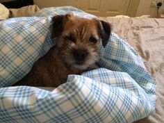 Maggie Betteridge on Twitter: Snug as a bug ina rug! Teehee! Mmmm! Border Terrier Puppy, Terrier Dogs, Best Dog Breeds, Best Dogs, Cute Boarders, Cute Puppies, Cute Dogs, Patterdale Terrier, Raining Cats And Dogs