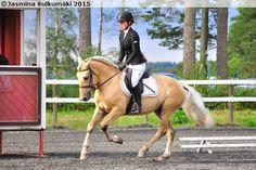 Four-year-old palomino Finnhorse stallion Friisin Kultapisku