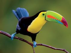 keel-billed toucan (photo by halex)