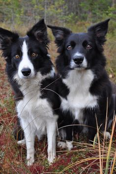 Best dogs ever. Border collies... Then chihuahua's ;)