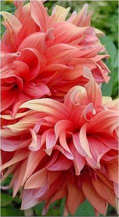 花 Dahlias