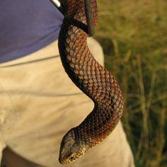 Copperhead Lower Plenty www.SnakeCatcherMelbourne.com.au