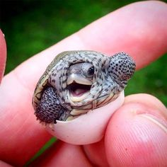 Baby turtle hatching | PostKitty