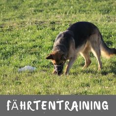 Fährentraining – Have fun for dogs and owners – dogeridoo – Hunting Ideas Halter, Hunting Dogs, Dog Training, Track Training, Cat Love, Loki, Animals And Pets, Kangaroo, Dog Cat