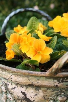 Is It Spring Yet, Country Farm, Buttercup, Yellow Roses, Farms, Container, Gardening, Flowers, Plants