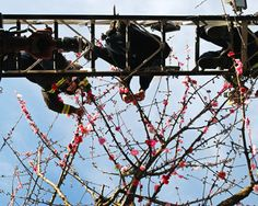 Vancover. Even firemen yarn bomb. This time it's knitted cherry blossoms tied onto branches.