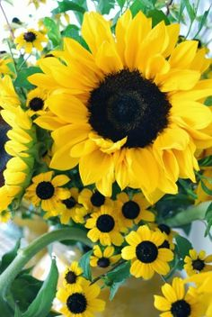Sunflowers - Helianthus annuus, the common sunflower, is an annual species of sunflower grown as a crop for its edible oil and edible fruits. This species of sunflower is also used as bird food, as livestock forage, and in some industrial applications.