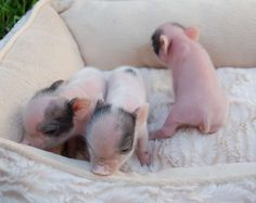 pot belly pigs as pets | Micro Mini Pot Bellied Teacup Piglets Miniature Pigs Pot Belly Florida ...