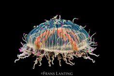 Flower Hat jelly, Olindias formosa, Monterey Bay Aquarium, California by Frans Lanting