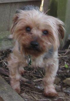 Petfinder  Adoptable | Yorkshire Terrier Yorkie | Dog | Belleville, IL | Stump