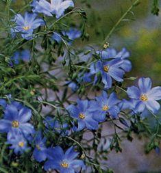 Flax Flowering Sky Blue | Blue Flowers | Seeds | Kings Seeds Vase Shapes, Flower Seeds, Dream Garden, Blue Flowers, Sky, Plants, Heaven, Heavens, Planters