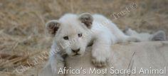 extinct white lion