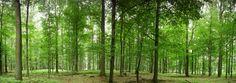 Fototapete Buchenwald bei Schlicht (Nr. 9169)  www.berlintapete.de